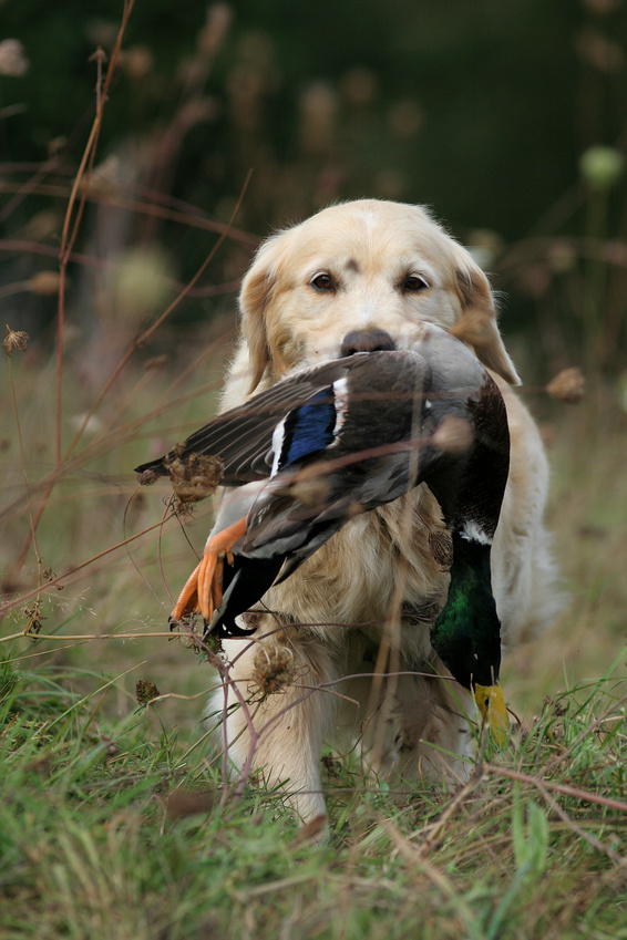 Chasse aux chiens courants