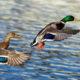 Chasse du canard colvert autorisée