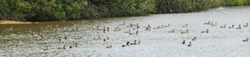 La chasse aux canards
